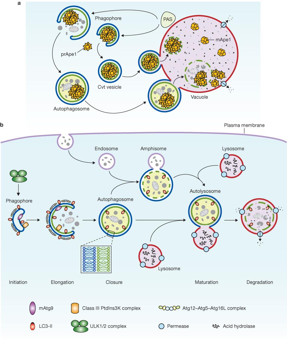 细胞自噬概念和基本过程